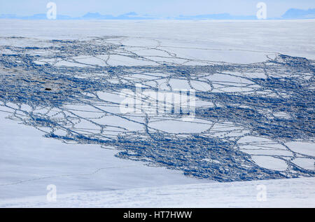 A Musk Ox And Snow Tracks Through A Fresh Snow On The Rolling Hills Of Jameson Land - Stock Photo