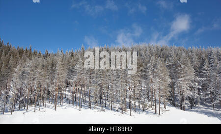 Winter landscape with snowy pine forest on a blue sky background in a clear sunny day. - Stock Photo