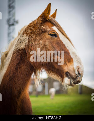 Lovely, happy horse in a field near Otley, West Yorkshire - Stock Photo