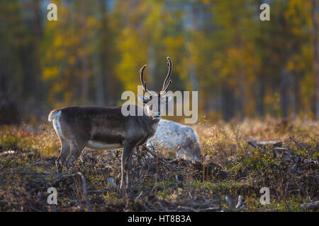 Reindeer in autumn season looking in to the camera and the forest having autumn colors, Gällivare, Swedish Lapland, - Stock Photo