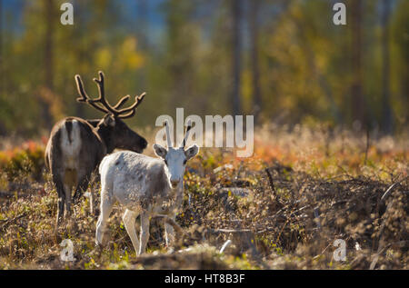 Two Reindeers in autumn season, one is looking in to the camera is a calf and is white, and the forest having autumn - Stock Photo