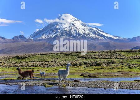 Llamas (lama glama) at river in front of volcano Sajama, covered with snow, Sajama National Park, Altiplano, Bolivia - Stock Photo