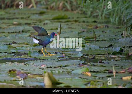 Purple Gallinule (Porphyrio martinicus) - Stock Photo