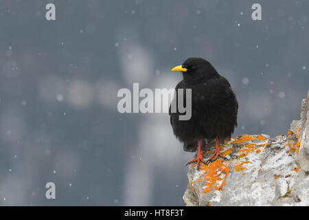 Alpine Chough (Pyrrhocorax graculus) on rocks with snowfall, Tyrol, Austria Stock Photo