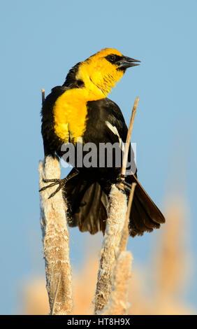 Male Yellow-headed Blackbird (Xanthocephalus xanthocephalus), Montana - Stock Photo