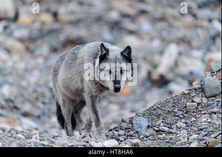 Gray Wolf (Canis lupus), Western North America - Stock Photo