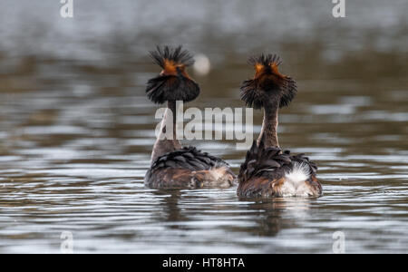 Adult Great Crested Grebes courtship routine - Stock Photo