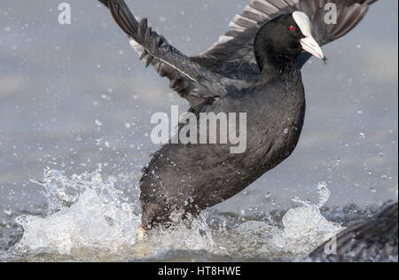 Male adult coots in a territory fight during the mating season. - Stock Photo