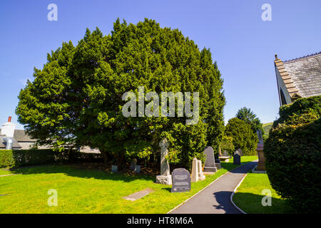The churchyard of St Digain's parish church in Llangernyw and an ancient yew tree, estimated to be around 4,000 - Stock Photo