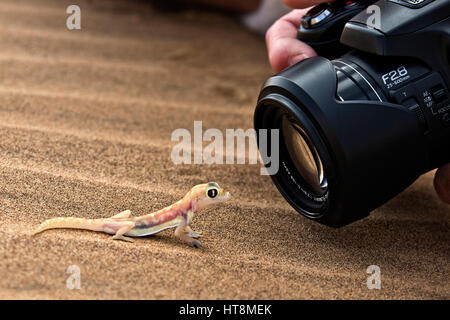 Photographer up close shooting a Cheeky and colourful Palmato Gecko on the sands of the Namib Desert  -  side view - Stock Photo
