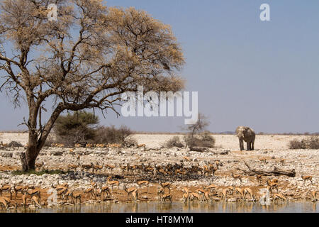 Bull Elephant approaching Okaukuejo waterhole with springbok - Stock Photo