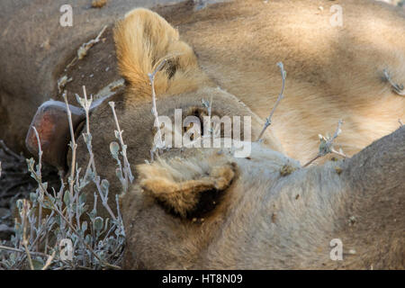 A lion at rest with one eye open. - Stock Photo