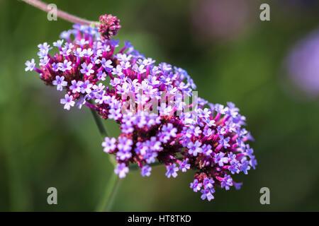 Vivid purple flowers close-up. Concept of beautiful nature, summer background. Seasons, gardening, admiring flowers - Stock Photo