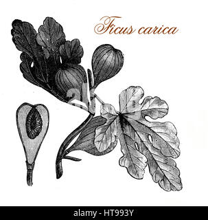 Vintage print of common fig, fruit and ornamental plant with tri-veined leaves and sweet edible fruits - Stock Photo