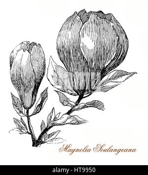 Vintage engraving of Magnolia soulangeana flowers, flowering from a deciduous tree in early spring before the leaves - Stock Photo