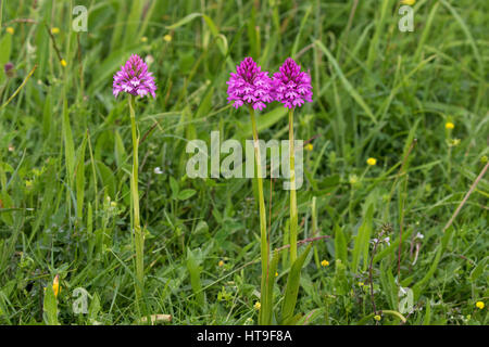 Pyramidal orchid Anacamptis pyramidalis on chalk downland Noar Hill Hampshire and Isle of Wight Wildlife Trust Reserve - Stock Photo