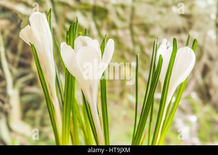 White crocus in the garden. - Stock Photo