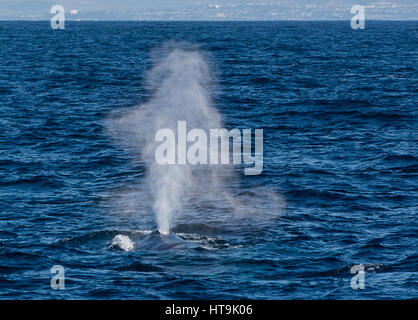 A Blue Whale surfaces for a breath in the Pacific Ocean off of the coast of San Diego, California, United States - Stock Photo