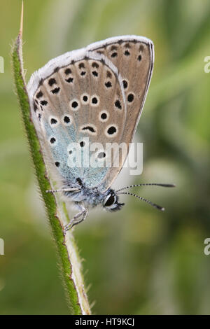 A rare Large Blue Butterfly (Maculinea arion) perched with its wings closed on a grass seed stem. - Stock Photo