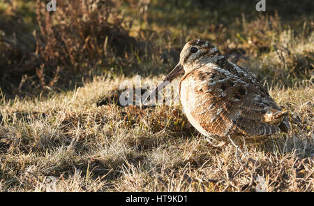 A stunning Woodcock (Scolopax rusticola) , sitting in the grass. It is so well camouflaged that it can hardly be - Stock Photo
