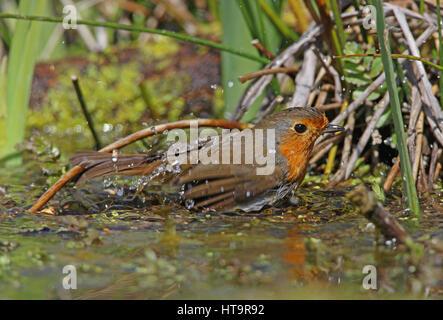 European Robin (Erithacus rubecula) adult bathing in pond  Eccles-on-sea, Norfolk   April - Stock Photo