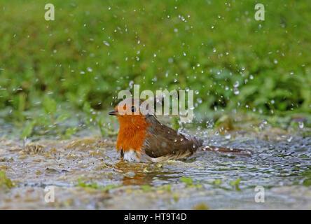 European Robin (Erithacus rubecula) adult bathing in pond  Eccles-on-sea, Norfolk   September - Stock Photo