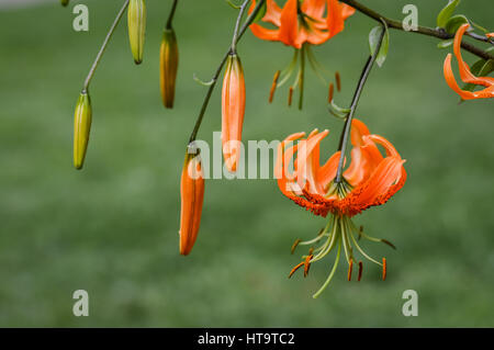 Close up of bright orange tiger lily flowers and buds, Lilium tigrinum - Stock Photo