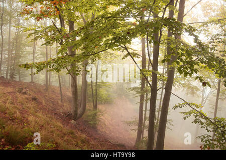 beech forest in autumn with thick fog - Stock Photo