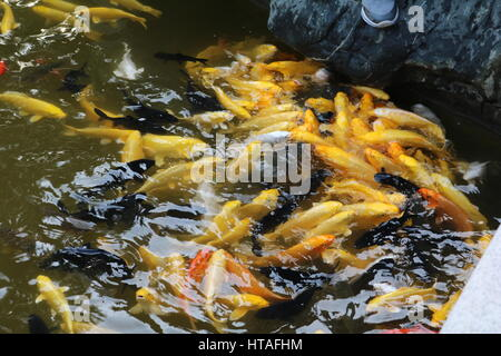 Many gold fish being fed in pond - Stock Photo
