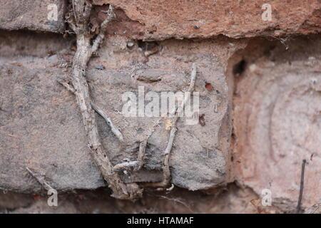 Natursteinmauer mit Wurzeln durchzogen - Stock Photo