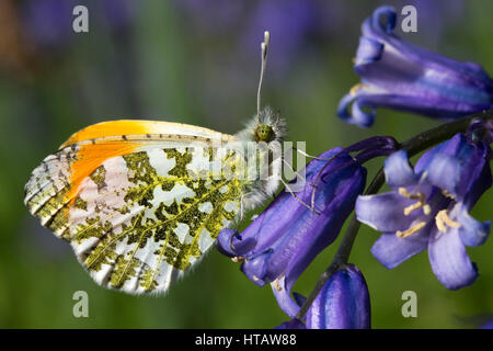 Male Orange Tip Butterfly (Anthocharis cardamines) on a Bluebell - Stock Photo