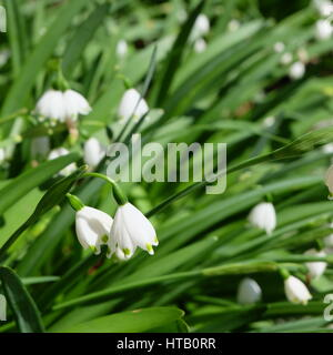 White bells flowers spring closeup stock photo 26113553 alamy leucojum small white bell shaped flower with green dot on tip of petal stock mightylinksfo