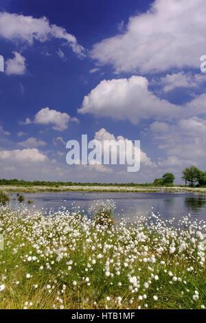 Scenery with cotton grass, fruit end cotton grass in the moor , Landschaft mit Wollgras, Fruchtendes Wollgras im Moor