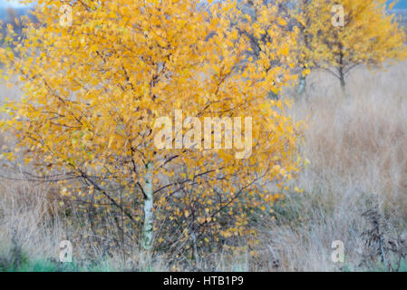 Autumnal birch in the moor, Herbstliche Birke im Moor - Stock Photo