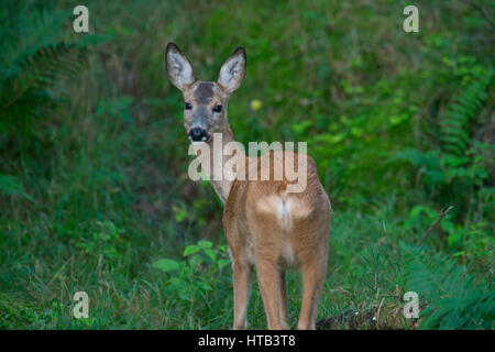 Female roe ( Capreolus capreolus) in a swedish forest - Stock Photo