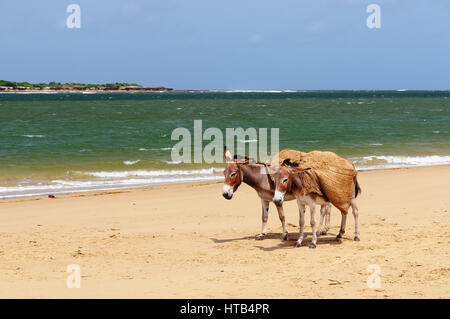 Donkey being used for a transportation of sand on the Lamu archipelago standing on the beach, Kenya - Stock Photo
