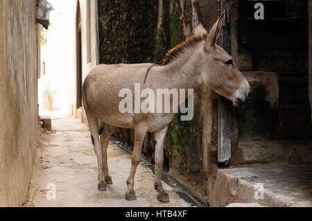 Donkey being used for a transportation of goods on the Lamu archipelago standing by the wall of the house in the - Stock Photo