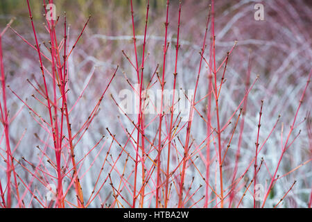 Cornus Sanguinea 'Midwinter Fire'. Dogwood 'Midwinter Fire' coloured stems in winter in front of Rubus biflorus - Stock Photo