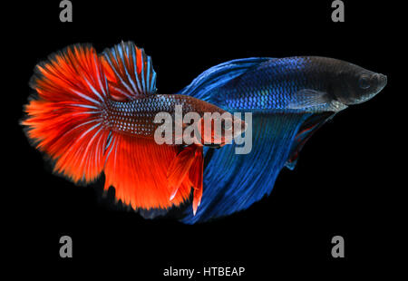 movement of life and colorful saimese fighting fish - Stock Photo