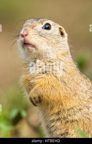 European ground squirrel (Spermophilus citellus), Portrait, National Park Lake Neusiedl, Seewinkel, Burgenland, - Stock Photo