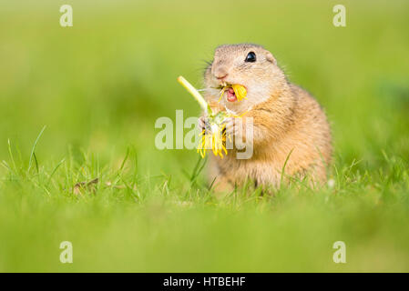 European ground squirrel (Spermophilus citellus citellus) eating dandelions, National Park Lake Neusiedl, Seewinkel, - Stock Photo