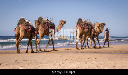 Coffs Harbour, Australia on August 14, 2016: Tourist guide walking camels on beach - Stock Photo