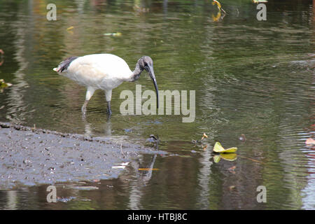 An ibis in the Royal Botanic Gardens in Sydney (Australia). - Stock Photo