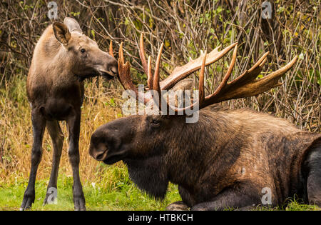 A young calf moose (alces alces) smiffing and bumping a large bull moose's antlers while the bull rests during the - Stock Photo