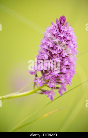 pyramidal orchid near Preci, Umbria, Italy - Stock Photo