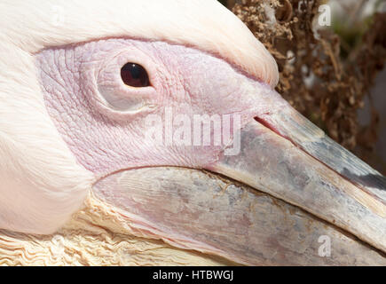 Petros, a great white pelican (Pelecanus onocrotalus), the mascot of Mykonos - Stock Photo