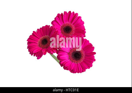 Three pink gerbera daisy flowers isolated for a vase. White background. - Stock Photo