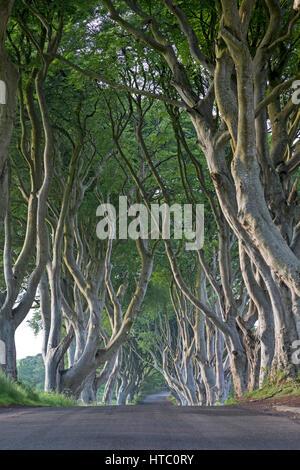 Beech tree avenue, The Dark Hedges, Ballymoney, County Antrim, Northireland, Great Britain, Europe - Stock Photo