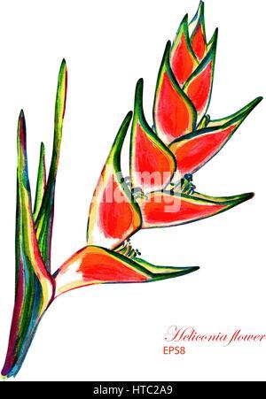 Flower of heliconia caribaea. Vector watercolor botanical illustration. Isolated on white background. - Stock Photo