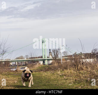 A pug dog walks to his loving owner alongside the Rhine River in Cologne, Germany - Stock Photo
